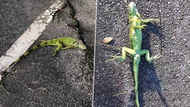 Iguanas Are Falling off Trees AGAIN! Viral Images and Videos Show Frozen Reptiles Losing Their Grip Due to Extreme Cold in Florida